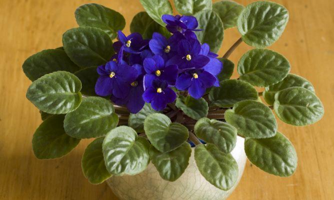 Violeta africana hogarmania - Hogarutil plantas ...