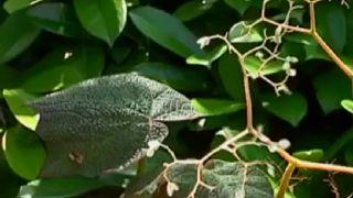Begonia palmeada jaspeada o begonia híbrido