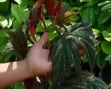 Begonia palmeada punteada o begonia híbrido