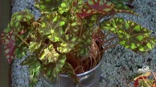 Begonia Tigre