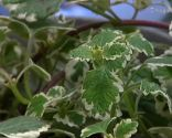 Incienso o plectranthus coleoides