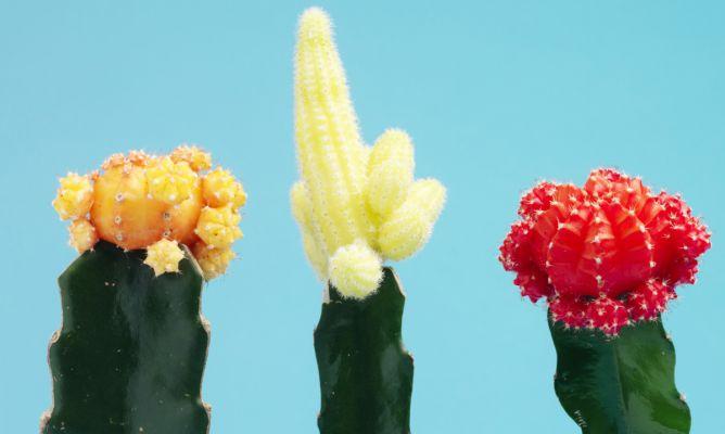 Cactus Injertado Hogarmania