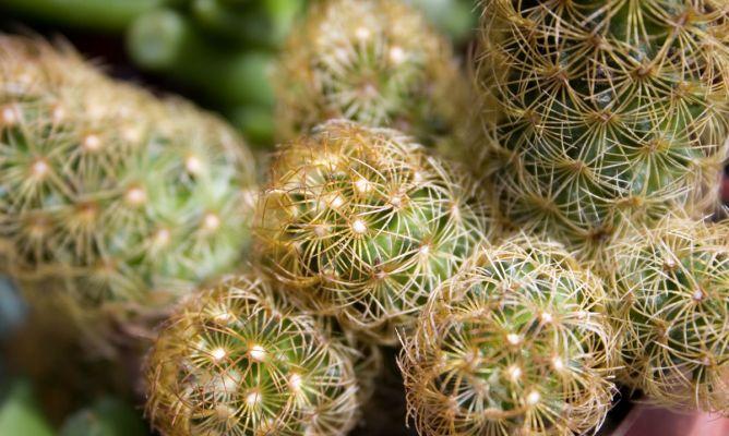 Cactus mamilaria hogarmania - Hogarutil plantas ...