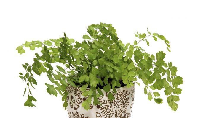 Culantrillo hogarmania - Hogarutil plantas ...