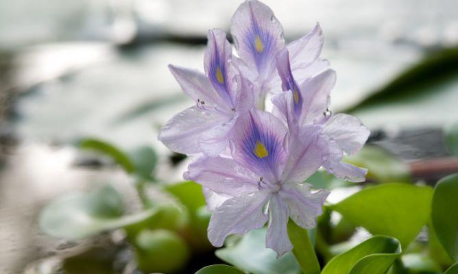 Jacinto de agua hogarmania - Jacinto planta cuidados ...
