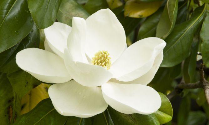 Magnolio decogarden - Cuidados del magnolio ...