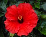Hibiscus moschata
