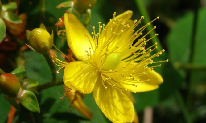 Hip rico rastrero o rosa de san juan c mo cuidarlo for Plantas decorativas para jardin