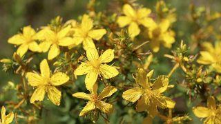 10 plantas medicinales para la salud de la mujer - Hipérico