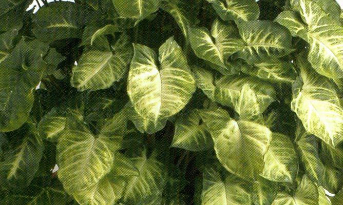 Singonio hogarmania - Hogarutil plantas ...