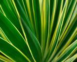 Yuca variegada