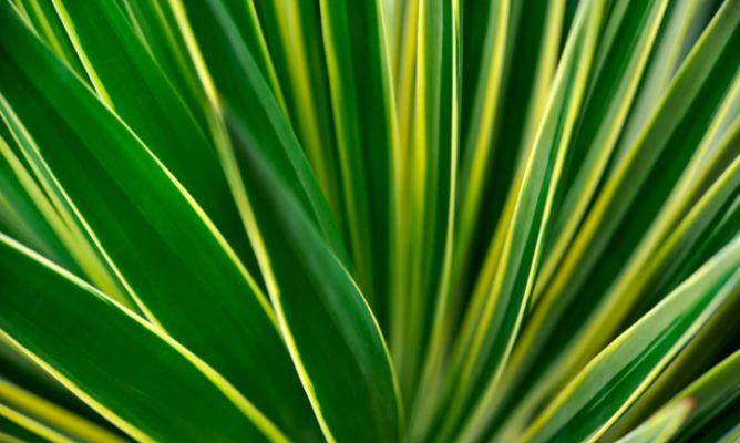 Yuca variegada hogarmania for Planta yuca exterior