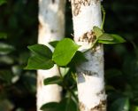 Abedul blanco con vegetación