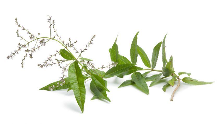 Hierbaluisa planta medicinal calmante y tonificante  Hogarmania