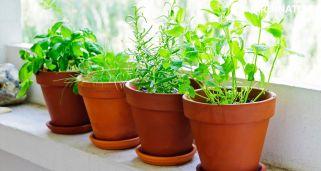 Plantas aromáticas de interior y exterior