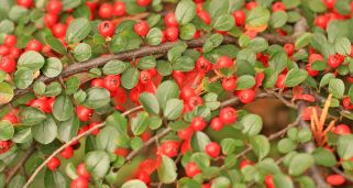 Cotoneaster Dammeri Royal Carpet