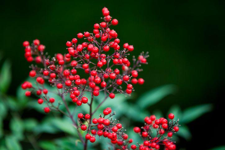 arbustos floración invierno - nandina