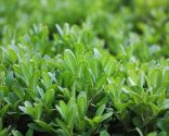 Buxus suffructicosa