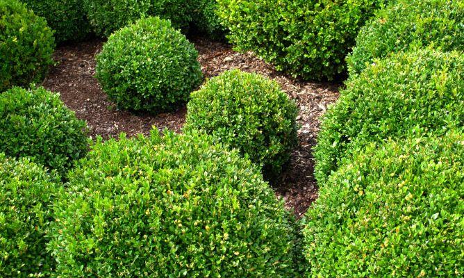 Jard n de esferas con boj bricoman a for Arbustos ornamentales de exterior