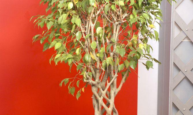 Plantaci n de ficus benjamina bricoman a for Jardin ficus quilpue