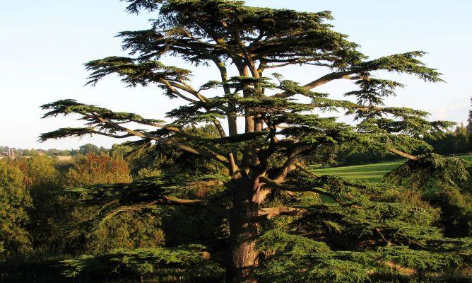 Tipos de cedros decogarden for Diferentes jardines