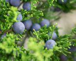 Frutos de juniperus