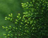 Juniperus media mint julep
