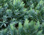 Juniperus pfitzeriana glauca