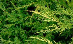 enebro planta medicinal