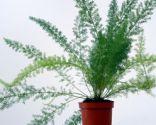 Asparagus densiflorus sprengeri
