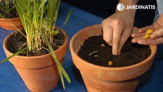 cómo reproducir palmeras