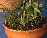 Reproducción de palmeras