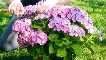 Enfermedades de las hortensias hogarmania - Variedades de hortensias ...