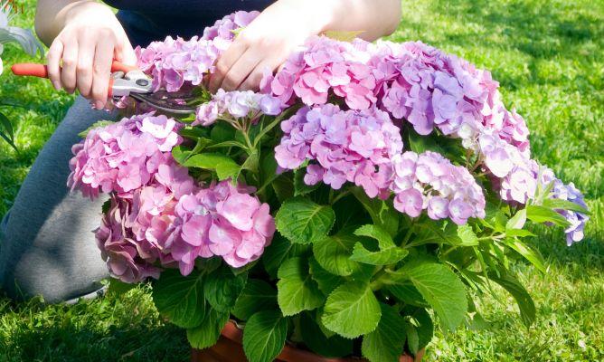 La poda de las hortensias bricoman a - Cuidado de las hortensias ...