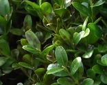 Hongo que ataca al boj: cylindrocladium buxicola