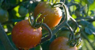 Consejos para cultivar tomates hogarmania - Cuando plantar tomates ...