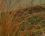 Carex testacea, orange