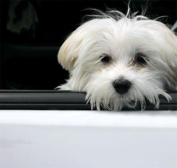 mareo perro coche