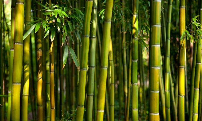 Cosecha del bamb bricoman a - Jardin de bambu talavera ...