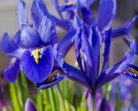 Lirios de primavera o iris reticulata