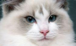 Cuidados gato ragdoll