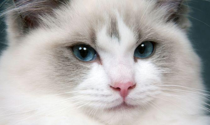 Gato Ragdoll R$ Cuidados del gato ragd...