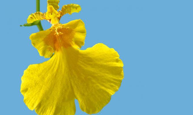 Orquídeas de flor amarilla
