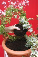 Trepadoras de flor blanca - paso 2