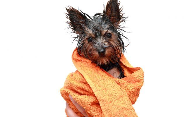 Consejos para ba ar a perros tipo yorkshire hogarmania - Como banar a un perro ...