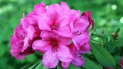 3 claves para cultivar azaleas hogarmania for Azalea japonica