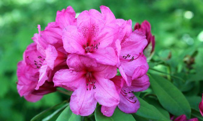 Azalea jap nica cuidados y consejos para su cultivo - Azalea cuidados planta ...