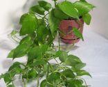 Plantas Colgantes De Interior Bricomania - Plantas-colgantes-de-interior