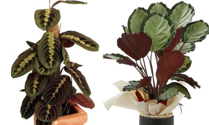 Calatheas y marantas plantas de interior espectaculares - Plantas de interior tipos ...