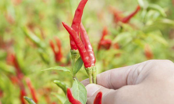 cultivar chile hogarmania On plantas exterior chile